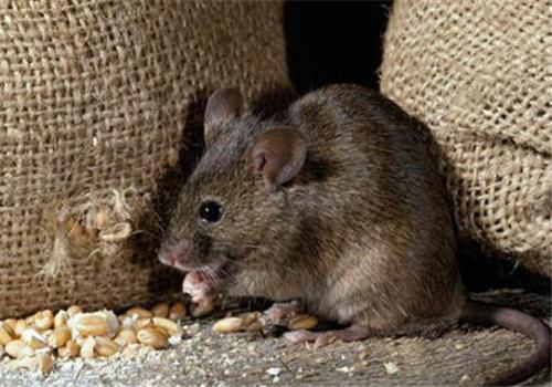 灭老鼠你还用老鼠药?