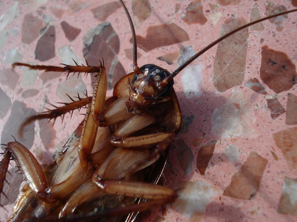 家里有蟑螂不要怕,教你一个灭蟑螂的小窍门,越早知道越好