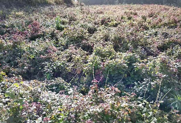 绵阳桔梗种苗基地