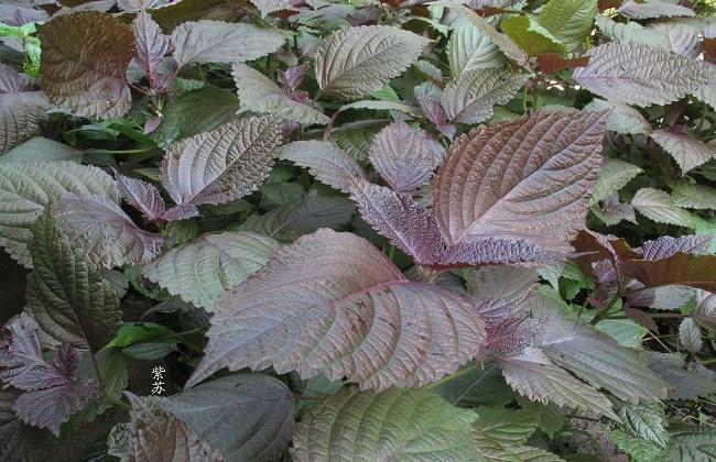 紫苏的栽培技术