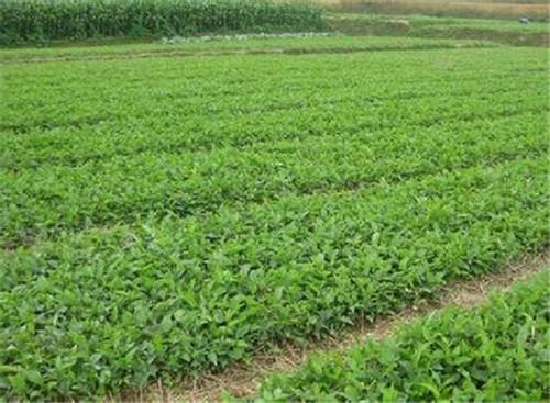 绵阳中药材种植方法有哪些呢?