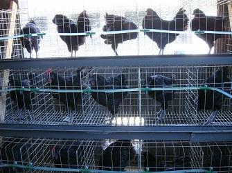 有机旧院黑鸡种鸡
