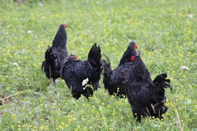四川旧院黑鸡养殖前景和产业发展现状分析