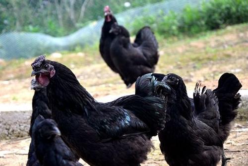 农户小规模养殖四川旧院黑鸡饲养技术要点
