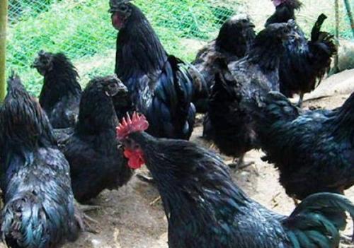 四川旧院黑鸡绿壳鸡蛋对于坐月子的女人是非常好的补品