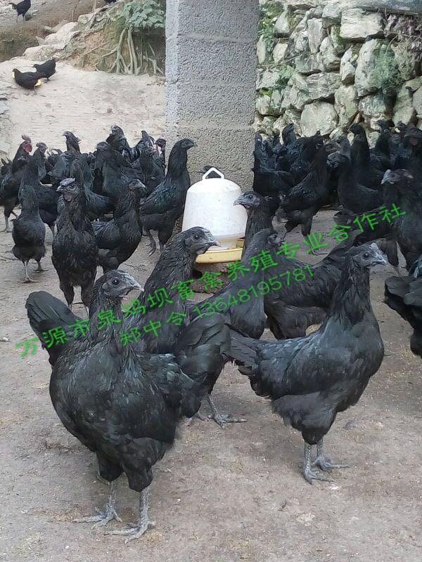 四川旧院黑鸡
