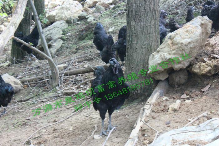 重庆旧院黑鸡