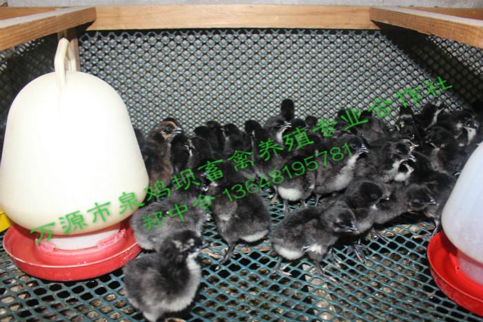 四川旧院黑鸡苗
