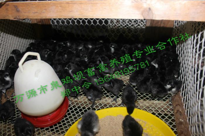 重庆旧院黑鸡苗