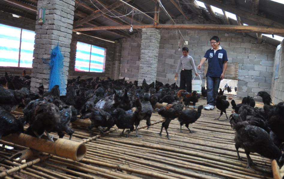 泉鸡坝黑鸡苗案例——广安市邻水县陈先生订购黑鸡苗
