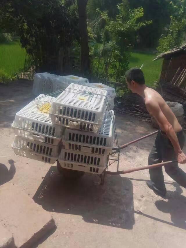 万源市泉鸡坝案例——南充市蓬安县林先生订购鸡苗