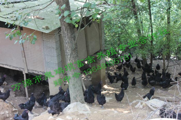 四川万源旧院黑鸡养殖基地