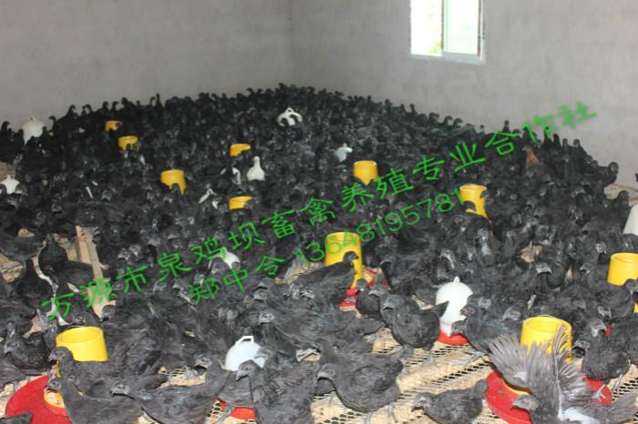 你不得不知的四川旧院土鸡小鸡的饲养管理流程