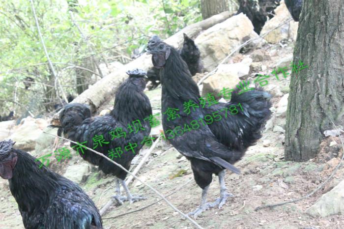 你知道四川万源旧院黑鸡中大鸡是怎样饲养管理的吗?