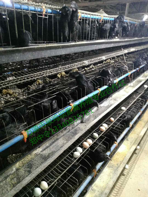 四川旧院黑鸡蛋生产基地