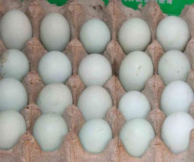 泉鸡坝青壳种蛋