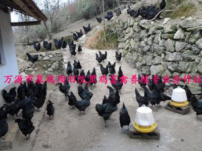四川旧院黑鸡苗养殖厂家告诉您鸡苗如何安全过冬