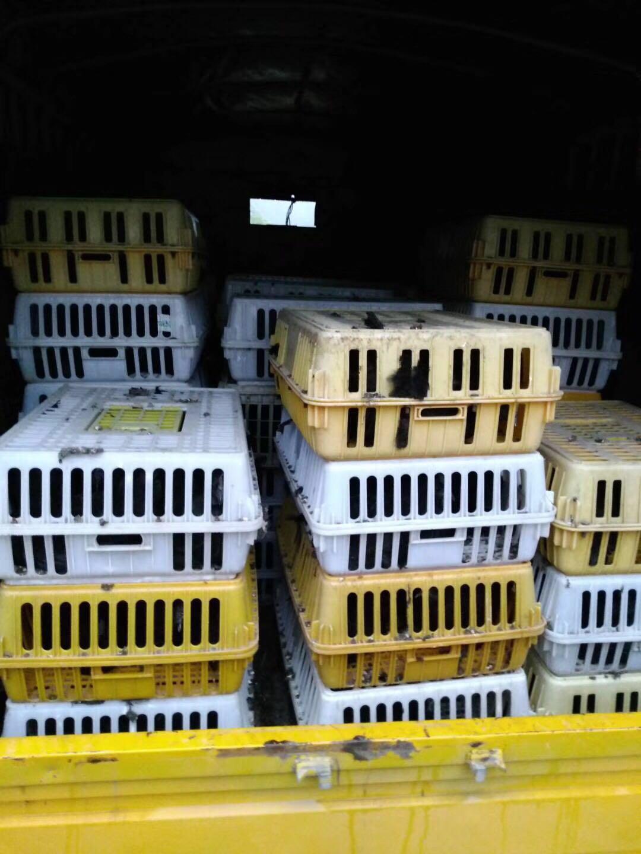 万源旧院黑鸡苗——达州客户旧院黑鸡苗送货