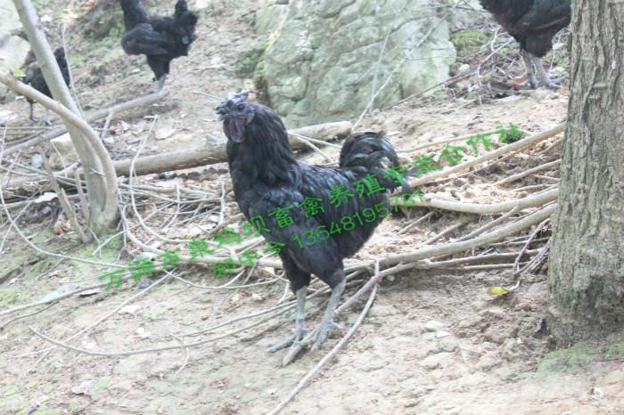 四川旧院土鸡厂家教你如何辨别土鸡!