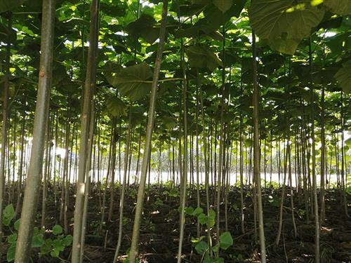 桐树苗种植基地