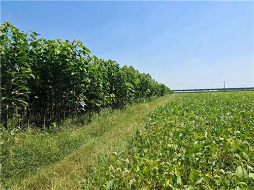 杨树苗在生长过程中浇水的小方法,感兴趣的快看过来