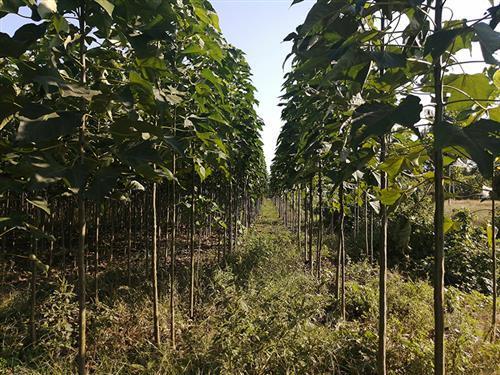 梓树苗种植的时候常见的四个问题,感兴趣的朋友看过来