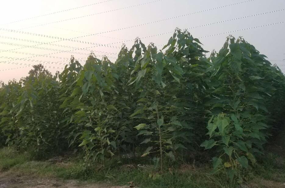 楸树苗种植如何选择?楸树组培苗和实生楸树苗有何不同?