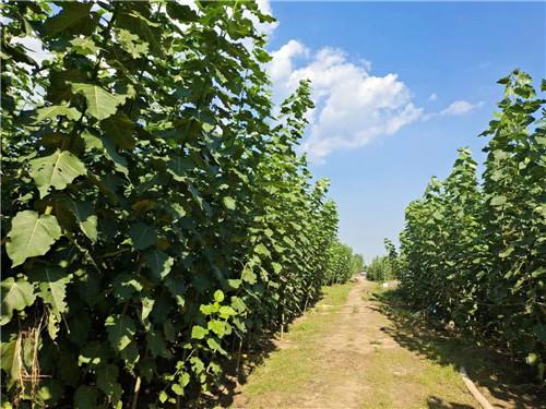 有哪些环境条件会直接影响杨树苗的生长呢?