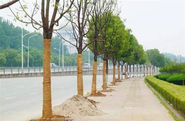 稻草绳对苗木有这些显而易见的作用