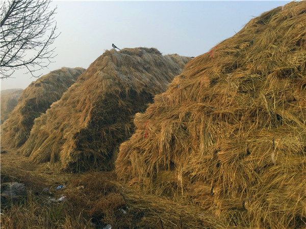 你对于稻草的储存和来源渠道了解吗?不知道就进来了解吧!