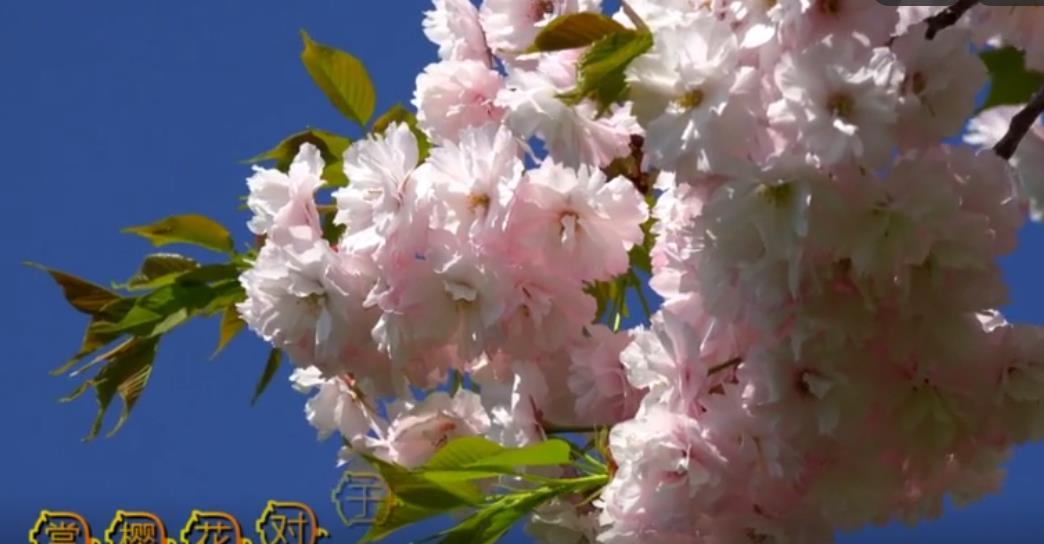 产自中国的樱花怎么就成了日本国花?快来涨知识!