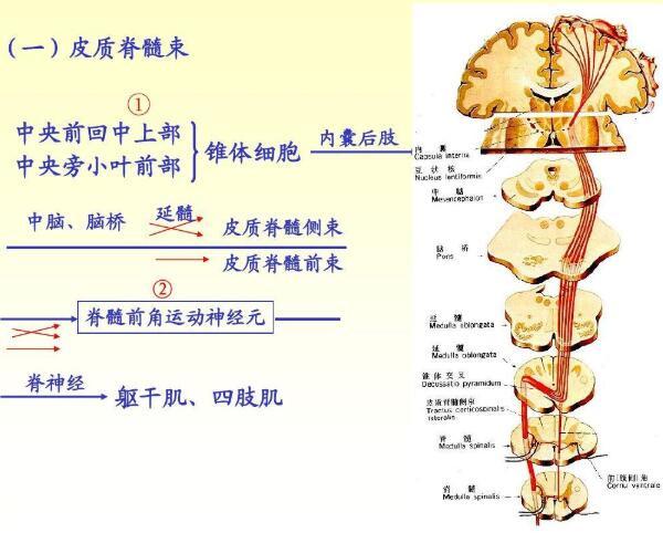 脊髓的运动支配径路介绍