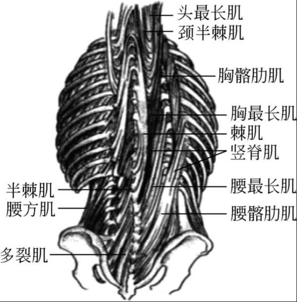 腰背部深层肌肉