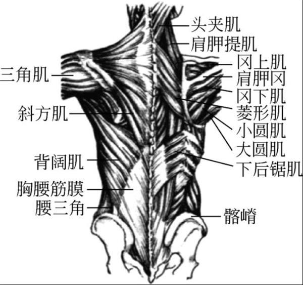 脊柱的主要肌肉与血管神经