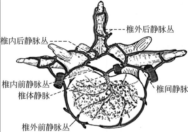 腰椎的静脉