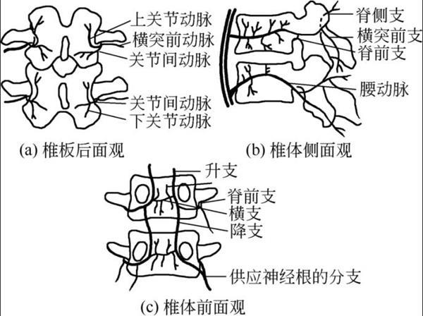 腰椎的动脉