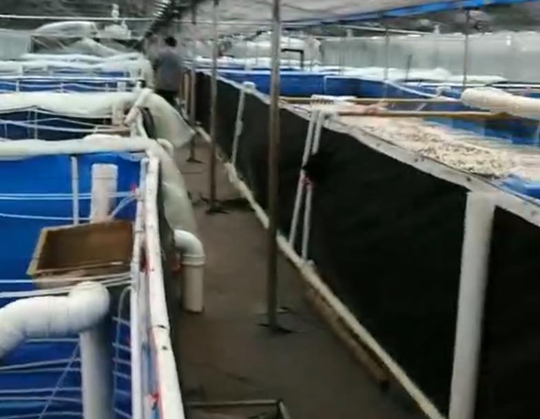 技术人员在客户基地成功放虾苗