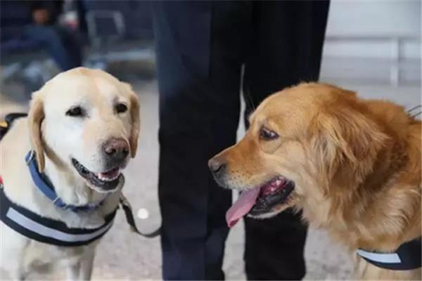西安哮天犬学园给大家普及工作犬的工作性能