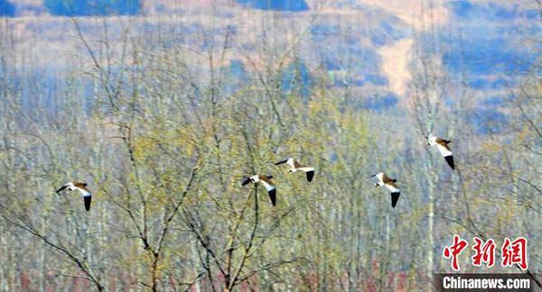 山西长治发现濒危鸟类灰头麦鸡