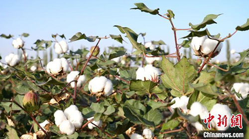 新疆棉花为什么好?气象..详解三大优势条件