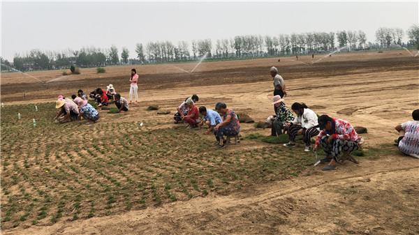 新乡草坪种植基地