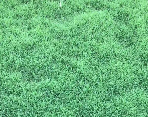 不同的月份,新乡百慕大草坪的养护方法也是不一样的哦