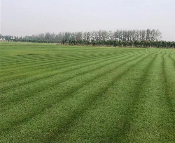 干货分享:新乡四季青草坪种植和管理技术