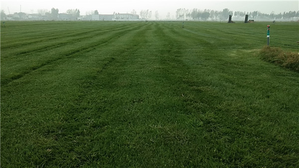 冬天适合播种四季青草坪种子吗?