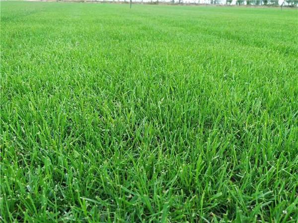 四季青与果岭草的优缺点有哪些?