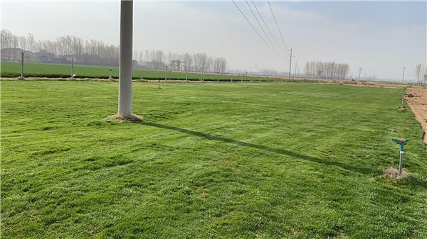 郑州草坪基地