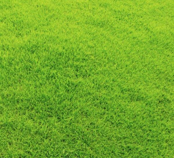 果岭草和百慕大之间有区别吗?