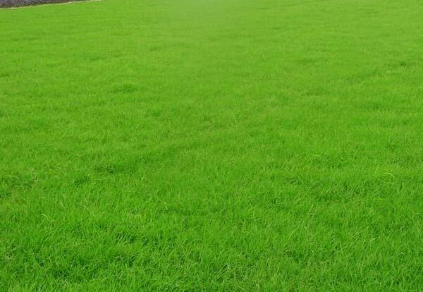 四季青草草坪用的什么草?