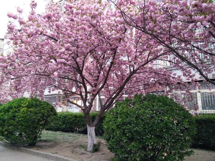成都樱花树的扦插与种植方法