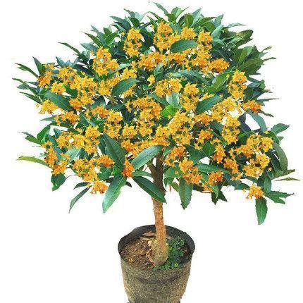 成都桂花树不宜种在哪些地方?该如何种?